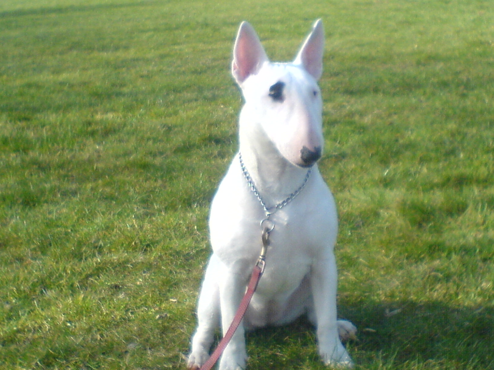 Englishbullterrier related keywords englishbullterrier for English terrier
